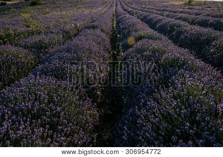 Flowers In The Lavender Fields In The Bulgaria Mountains.