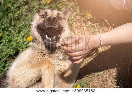 Photo of happy dog with tongue sticking out lying on lawn with dandelions