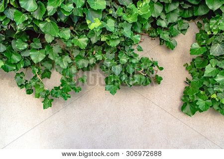 Stock Photo The Green Creeper Plant On Cement Wall