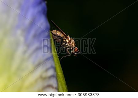 Close up shot of a fly on the Iris flower