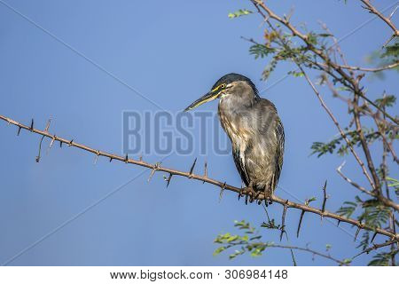 Green Backed Heron Isolated In Blue Backgound In Kruger National Park, South Africa ; Specie Butorid