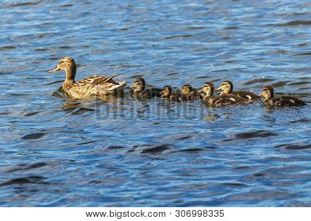 A Family Of Ducks, A Duck And Six Little Ducklings Are Swimming In The Water. One Line. The Duck Tak