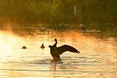 A Canada goose tends to its feather and splashes in the lake on a early, misty morning.  BC Canada poster