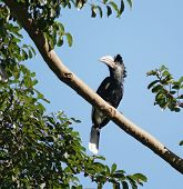 "a female bird named ""Silvery cheeked Hornbill"" in Uganda (Africa) sitting on a bough in sunny ambiance poster"