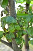 Congestion of a plant louse on sweet cherry leaves poster