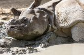 Rhino having a mud bath at Kruger National Park, South Africa poster