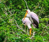 closeup of a yellow billed stork standing in its nest in a tree, tropical Bird from Africa poster
