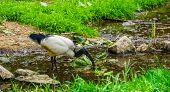 closeup of a African sacred ibis standing in a small river stream, tropical bird specie from Africa poster