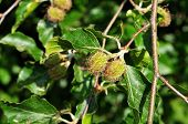 nut cupules of female flowers of fagus sylvatica, the european beech tree poster