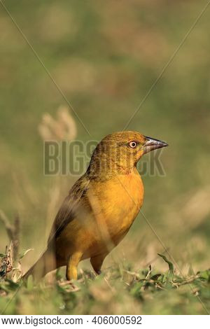 Holub's Golden Weaver (ploceus Xanthops), Also Called The African Golden Weaver Sitting On The Grass