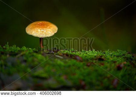 Pacific Northwest Forest Mushroom. A Wild Mushroom Growing In A Damp Pacific Northwest Forest.