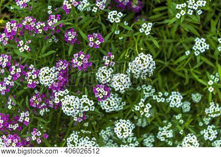 Seaside Or Sea Lobularia, Or Primorskaya Gazonnitsa (lobularia Maritima) Species Of Flowering Plants