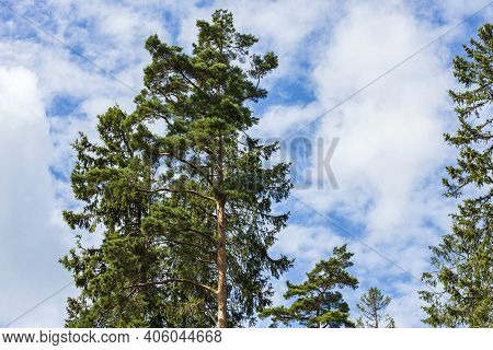 Gorgeous View Of Cloudy Sky Over Tops Of And Trees. Gorgeous Natural Backgrounds. Sweden.