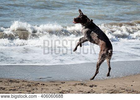 Beautiful Elegant Graceful Kurzhaar Jumps High Up On Sandy Beach Against Sea Background. Hunting Ger