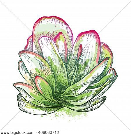 Vector Hand Drawn Sketch Of Kalanchoe Thyrsiflora Or Paddle Plant Succulent In Pastel Green And Red