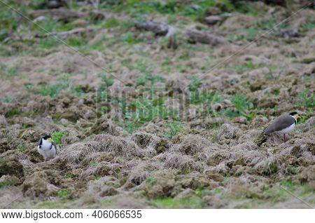 Spur-winged Plovers Vanellus Miles Novaehollandiae. The Catlins. Otago. South Island. New Zealand.