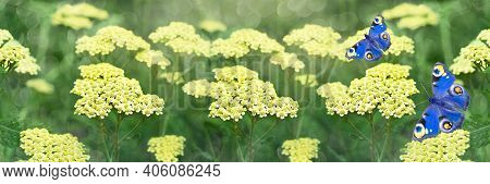 Wide-screen Unfocused Background With Yellow Flowering Yarrows And Blue Butterflies. Selective Focus