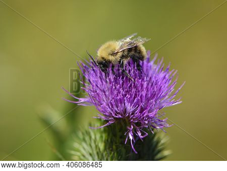 Bumblebee On Silybum Marianum. Wild Hairy Bumblebee On Pink Wildflower Thistle, Close-up, Selective