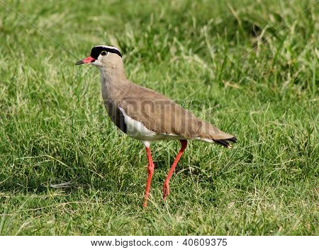 Crowned Plover Lapwing Bird