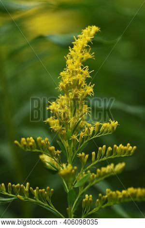 Canada Goldenrod Flowers / Asteraceae Perennial Weed Grass