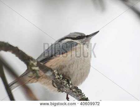 Eurasian Nuthatch sitting on the branch of a tree in winter. poster