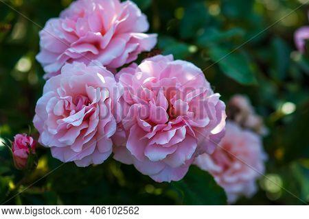 Rosa Botticelli - Lush Pink Floribunda Roses In The Shadow Of Summer Garden