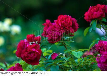 Rosa Hansaland - Dark Red Hybrid Rugosa Roses Flowering In Summer Garden