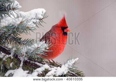 Cardeal empoleirado em uma árvore