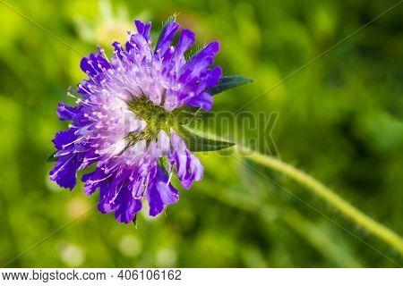 Blue Violet Flowers On The Flower Meadow Summer In Norway.