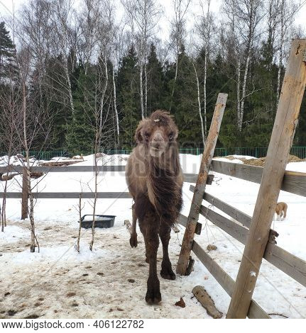 Bactrian Camel. Two Humped Camel Approaches The Man. Camel In The Snow In Winter. Camelus Bactrianus