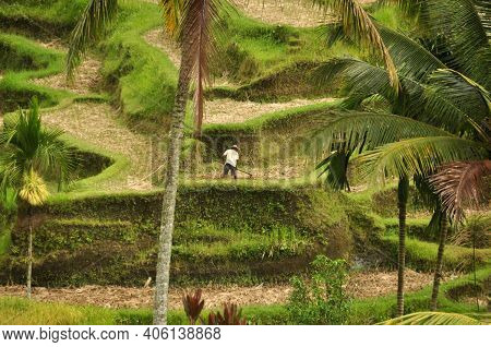 View Of Man Working On Beautiful Exotic Plantation With Green Vegetation, Bali. Man Working On Green