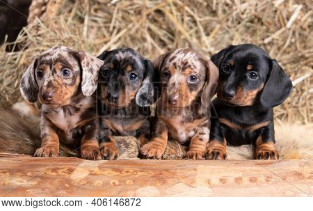 group Dogs dachshunds, puppies of small rabbit dachshunds of different colors, marbled color