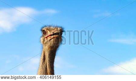 A Funny Ostrich Looks Attentively Into The Distance, Opening Its Beak. Close-up Of The Head And Neck