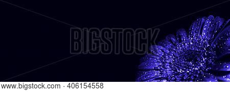 Large Beautiful Gerbera Of Blue Color In Drops Isolated On Black Background With Copy Space, Text Pl