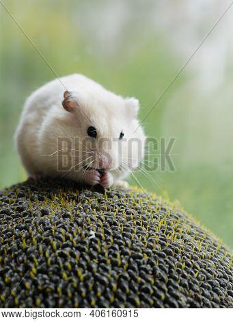 Greedy White Hamster Eating Secretly Sunflower Seed