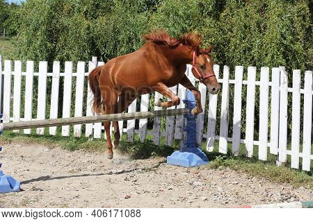Young Chestnut Colored Sport Horse Free Jumps Over A Hurdle In Economy Round Pen Open Air At Summer