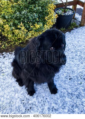 Purebread Newfoundland Black Dog Sits In The Snow Looking Up At The Camera