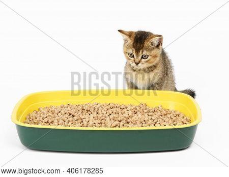 Kitten Golden Ticked Scottish Chinchilla Straight Sitting Next To A Plastic Toilet With Sawdust. Ani