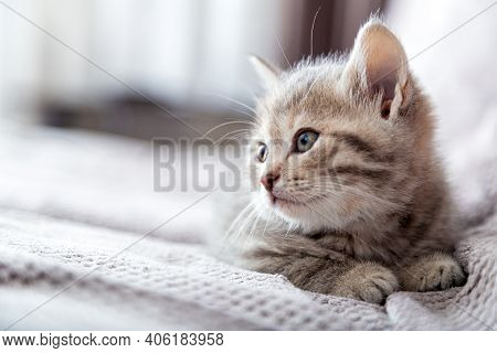 Kitten Portrait. Cat Lies On Gray Sofa Looking Side On Copy Space. Cat Rest Relax On Bed. Pet Lies A