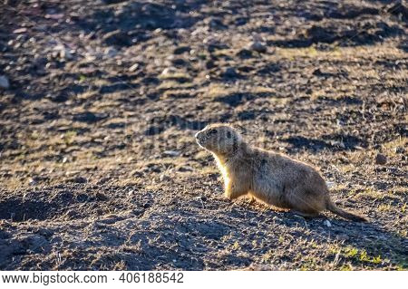 Black-tailed Prairie Dogs (cynomys Ludovicianus)  Near The Mink On The Field. Prairie Dog Town At Th