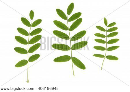 Green Plant Leaves Of Acacia Tree On A White Isolated Background, Template For Your Design, Natural
