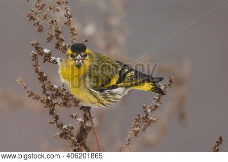 Bird - Eurasian Siskin ( Spinus Spinus ) Male Ssits On Dry Grass And Eats Last Year's Seeds. Cloudy