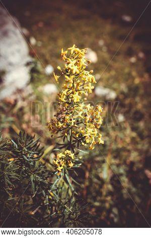Galium Verum Wild Flowers Close Up View In Vanoise National Park, France