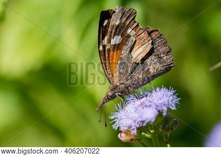 An American Snout Butterfly Feeding Froma Wildflower In The Lrgv.