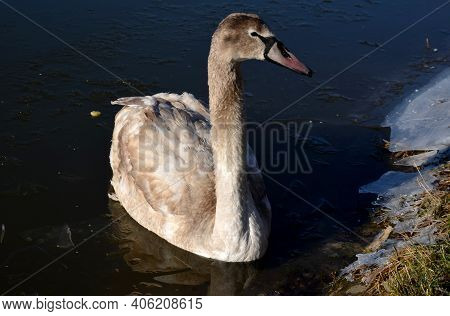 Young Swan Frozen By The Shore After A Cold Night In The Ice. People Go To Feed Her So That She Has
