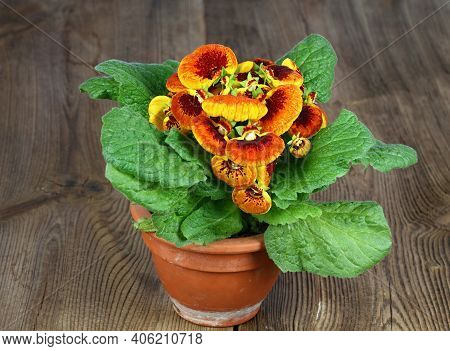 Close-up Of Flower Calceolaria Biflora On Brown Wooden Table.  Also Called Slipper Flower, Native In