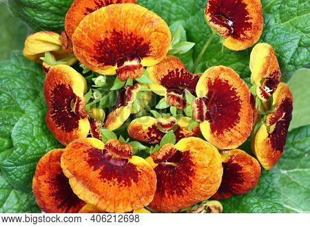 Close-up Of Flower Calceolaria Biflora, Flat Lay.  Also Called Slipper Flower, Native In South Ameri