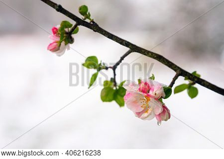 Apple Tree Blossoms Covered In Snow During Unexpected Snowfall In Spring. Blooming Flowers Freezing