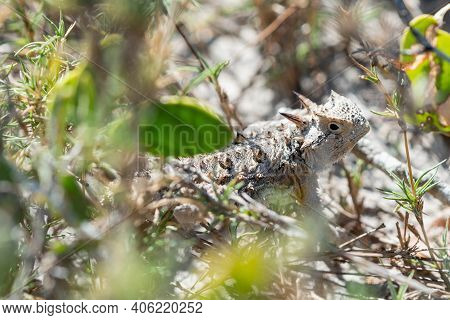 A Texas Horned Lizard In The Lower Rio Grande Valley National Wildlife Refuge.