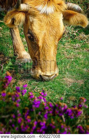 Wild Cow Eating In The Mountains Of Baiona